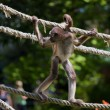 Marimonda Spider monkey — Stock Photo