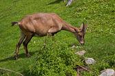 íbex comer grama — Fotografia Stock