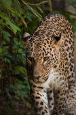 Leopard walking in greens — Stock Photo