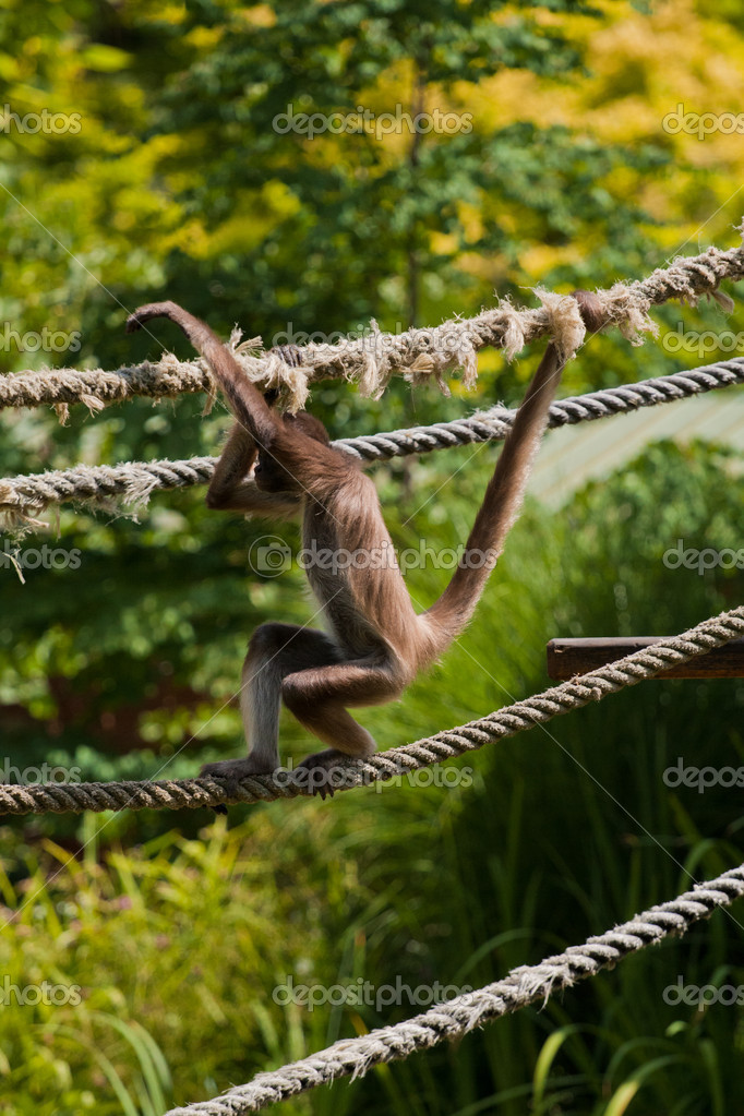 Marimonda Spider monkey in the zoo — Stock Photo #6554818