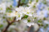árvore de cereja flor — Foto Stock