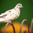 Foto Stock: Pigeon sits on fencing