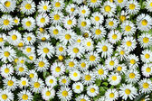 White daisy background — Stock Photo