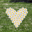 White Daisy field-heart — Stock Photo