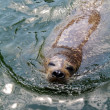 Seal in the water — Stock Photo