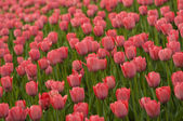 Red tulips. — Stock Photo