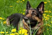 German Shepherd on the meadow close up — Stock Photo