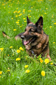 German Shepherd on the meadow with dandelions — Stock Photo