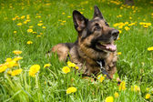 German Shepherd with dandelions — Stock Photo