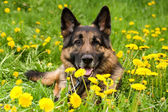 Shepherd on the meadow close up — Stock Photo