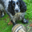 Spaniel look at camera — Stock Photo