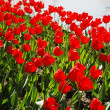 Lot of red tulips blooming — Stock Photo