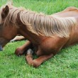 Brown horse lying - Stock Photo
