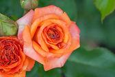 Beautiful yellow rose — Stock Photo