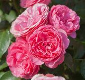 Beautiful red rose — Stock Photo