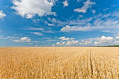 Ripe wheat field — Stock Photo
