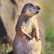 Prairie Dog. — Stock Photo