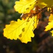 Dry yellow oak leaves — Stock Photo