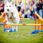 Dog Jumping Over Hurdle — Stock Photo #5549065