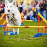 Dog Jumping Over Hurdle — Stock Photo #5693024
