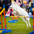 Dog Jumping Over Hurdle — Stock Photo