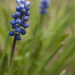Compact Grape-hyacinth. — Stock Photo