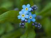 Forget me not, small flowers in the shape of a heart — Stock Photo