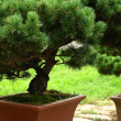 Bonsai tree (Chines Botanic Garden) — Stock Photo