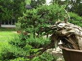 Bonsai tree (Chines Botanic Garden) — Stockfoto