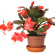 Christmas Cactus - Stock Photo