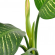 Dieffenbachia Flower - Stock Photo