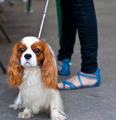 国王查尔斯宾格犬 — 图库照片