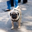Stock Photo: Pug dog