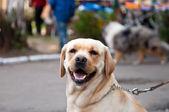 Retriever dog — Stock Photo