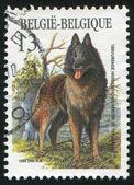 Tervueren sheepdog — Stock Photo