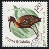 Glossy ibis — Stock Photo