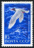 Mediterranean gull — Stock Photo