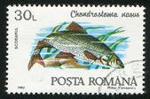 Chondrostoma 最大持续产量 — 图库照片