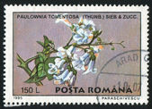 Paulownia tomentosa — Foto de Stock