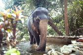 Trained elephant — Stock Photo