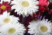 Chrysanthemum flowers — Stockfoto