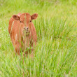 Calf on the pasture — Stock Photo