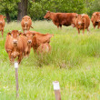 Cattle on the pasture — Photo
