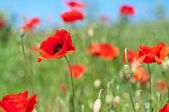 Poppies on the meadow — Stock Photo