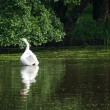 Swan sailing on the lake in a forest - Stock Photo