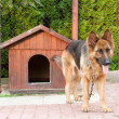 German shepherd and wooden doghuse - Stock Photo