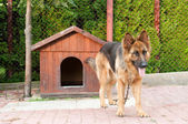 German shepherd and wooden doghuse — Stock Photo