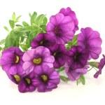 Petunia — Stock Photo #5875493