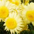 Three yellow chrysanthemums. — Stock Photo
