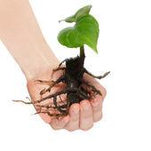 白で隔離される手の中の若い緑の植物. — ストック写真